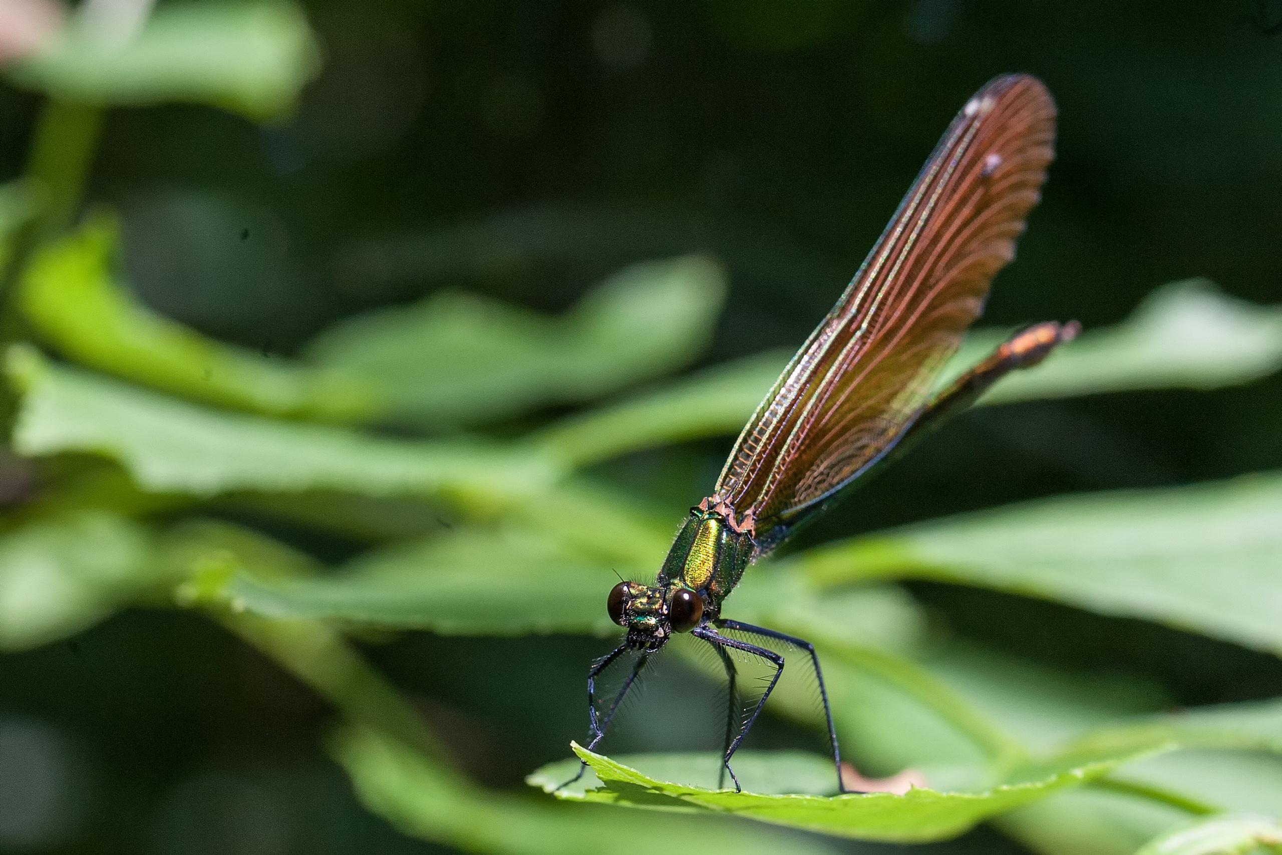 2007-06-calopteryx-virgo-F-2