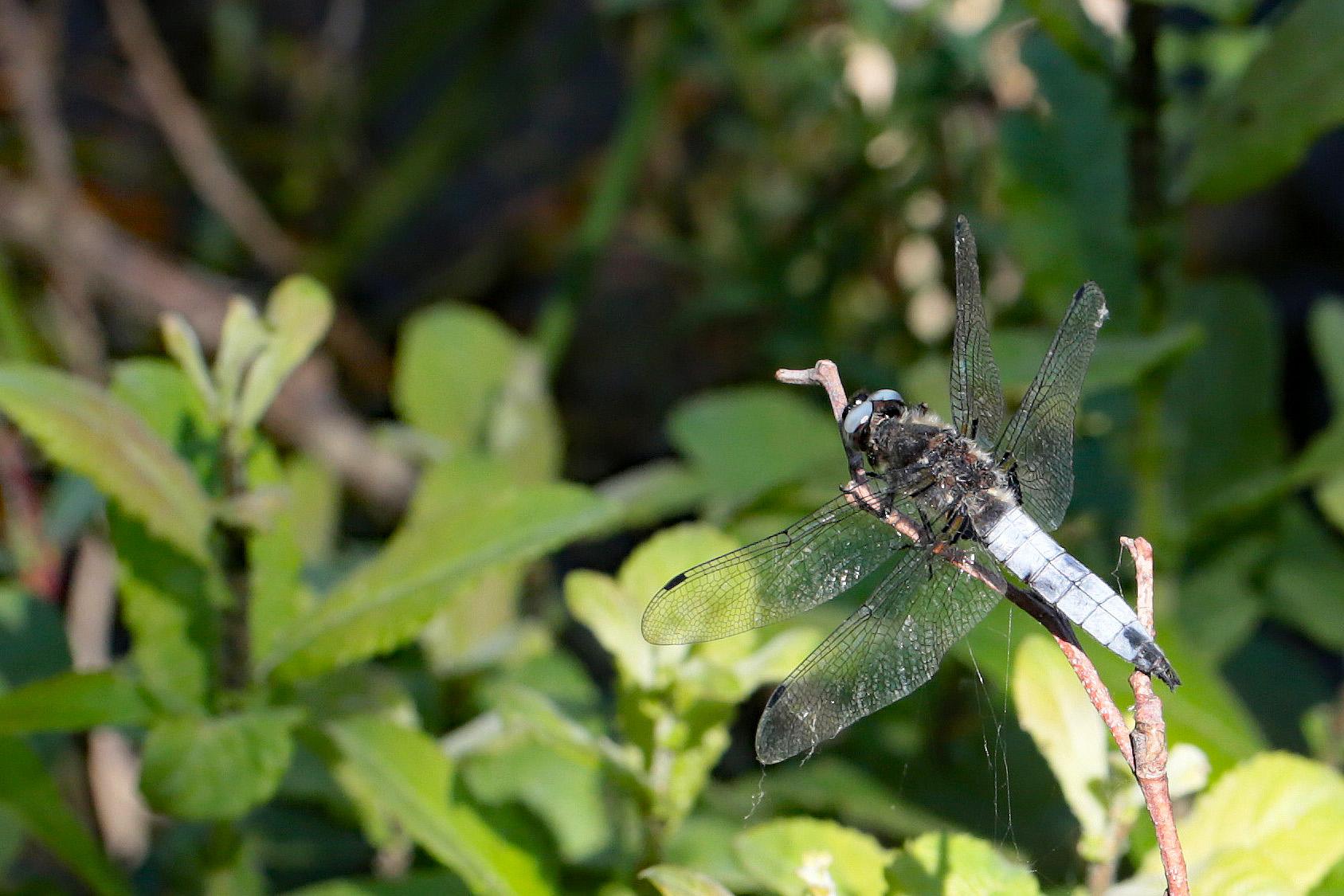 2013-06-libellule-fauve-2