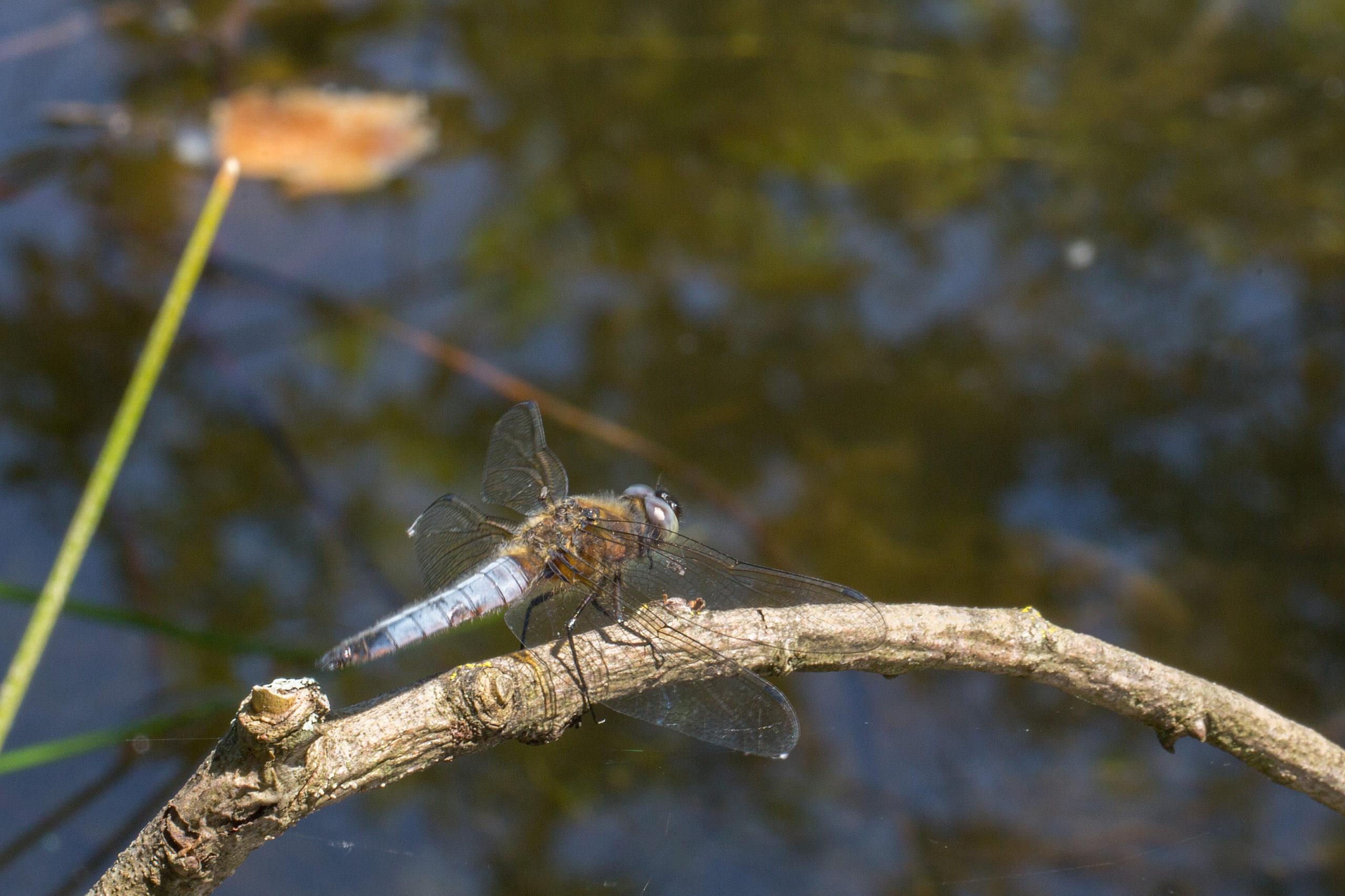 2013-06-libellule-fauve