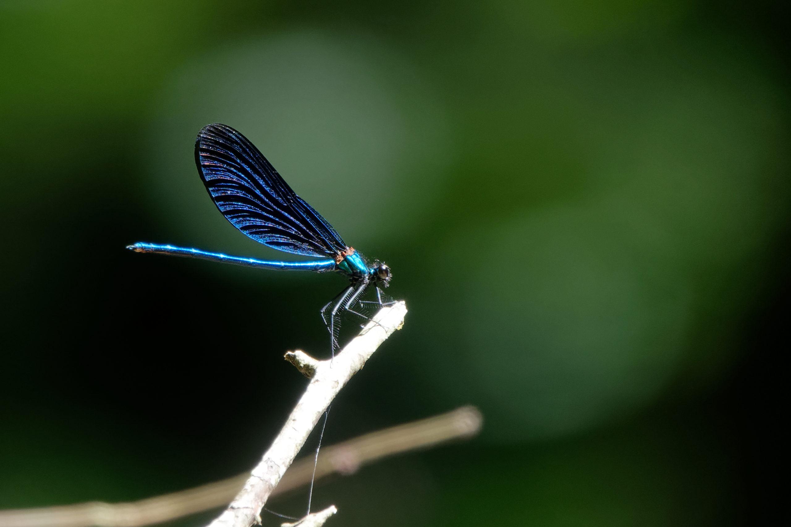 2019-07-calopteryx-virgo-1
