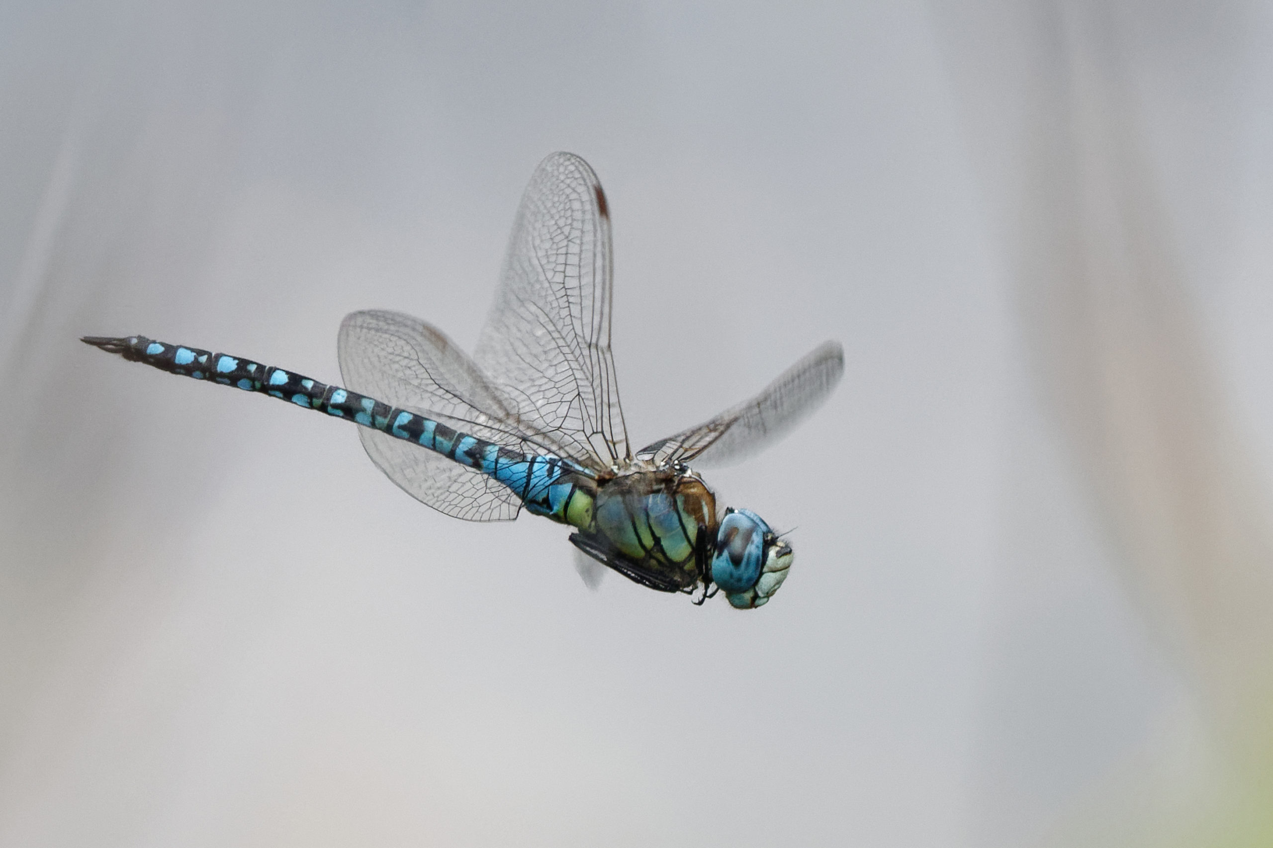 2019-08-aeschne-affinis-2